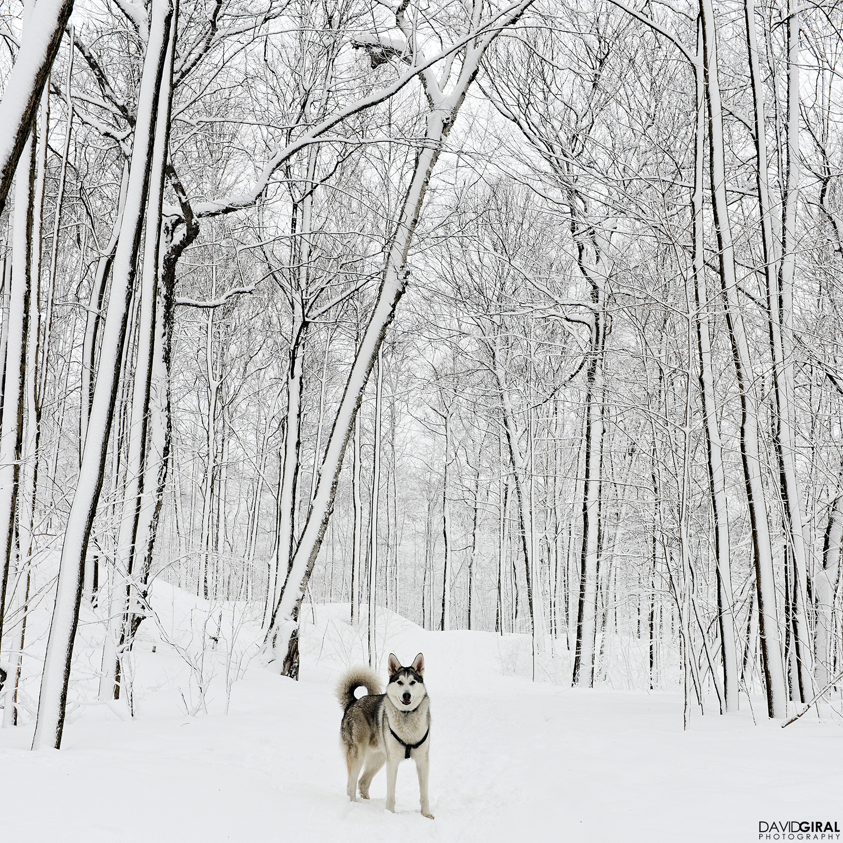 Portrait of a husky dog in Mont Royal Park in Winter and snow covered trees